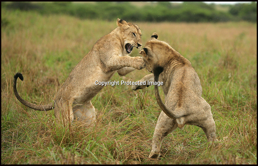 BNPS.co.uk (01202 558833).Pic: Alan Murray/BNPS..***Please Use Full Byline***..Rumble in the jungle!..Learning the law of the jungle can be tough as this no holds barred 'play' fight between young lions shows...The fray was started after two of the ferocious animals, stalked each other around the pride in the Phinda Reserve in Zululand, South Africa...They swiped at each other with their paws and rolled around on the floor, causing a commotion that woke the rest of the huge cats...It was only when two other siblings made a dramatic intervention that the angry exchange fizzled out and the pride returned to contemplating the menu items on the surrounding plain....The dramatic dust-up was was captured by amateur photographer Alan Murray, who was watching the group from the safety of a van...