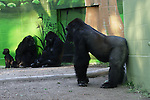 A Gorilla family at the SanDiego Zoo.