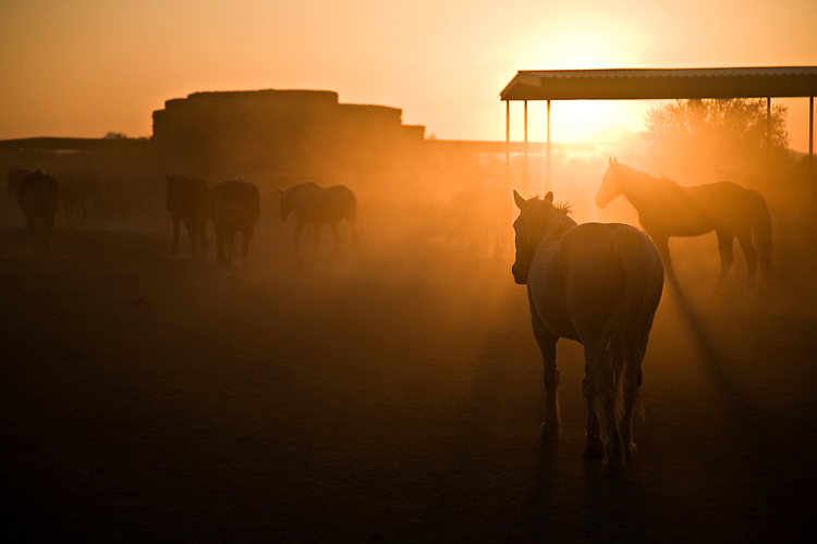 Tucson, AZ / APR  .Horses head to their resting pasture as the sun sets over the Sonoran Desert at the White Stallion Ranch.