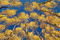 Fall Aspen in Colorado