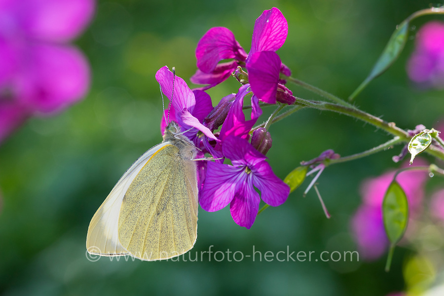 Großer Kohlweißling, Kohlweißling, Kohl-Weißling, Grosser Kohlweissling, Kohlweissling, Pieris brassicae, large white, Cabbage Butterfly, Cabbage White, Large Cabbage White, White cabbage butterfly, cabbage butterfly, La Piéride du chou
