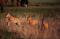Three spirited foals chase through high grass in the early morning.  <br />