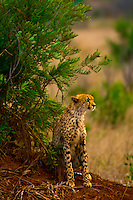 Cheetah, Kruger National Park, South Africa