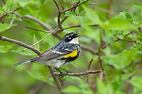 Yellow-rumped Warbler (Dendroica coronata). Male singing in breeding plumage, spring migration. Lake Erie, Ohio, USA.