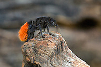 394750002 a wild female red velvet ant dasymutilla magnifica on an old log in the rio grande valley of south texas