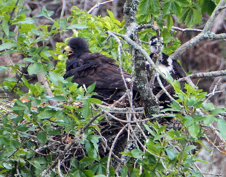 Zone-tailed hawk nest in oak tree on bank of Colorado River, across the river from Colorado Bend SP. Mom and at least two chicks, the largest sitting behind and to the right of the adult and another just peeking out from beneath the adult.