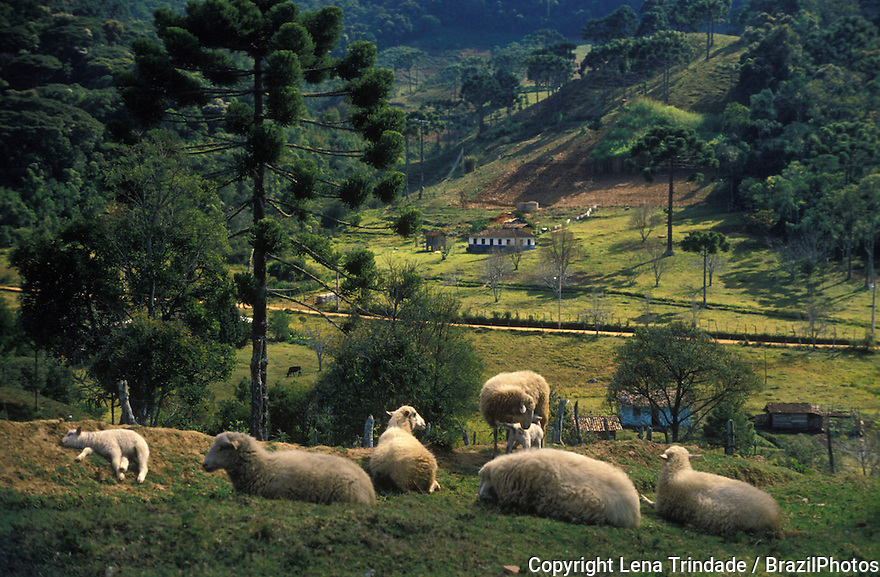 Sheeps and araucaria trees at Campo Redondo, Minas Gerais State, countryside Brazil. Rural scene, bucolic landscape, young animal, young sheep, animals from the farm countryside farming fields flock graze grazing herd herding pastoral pastures