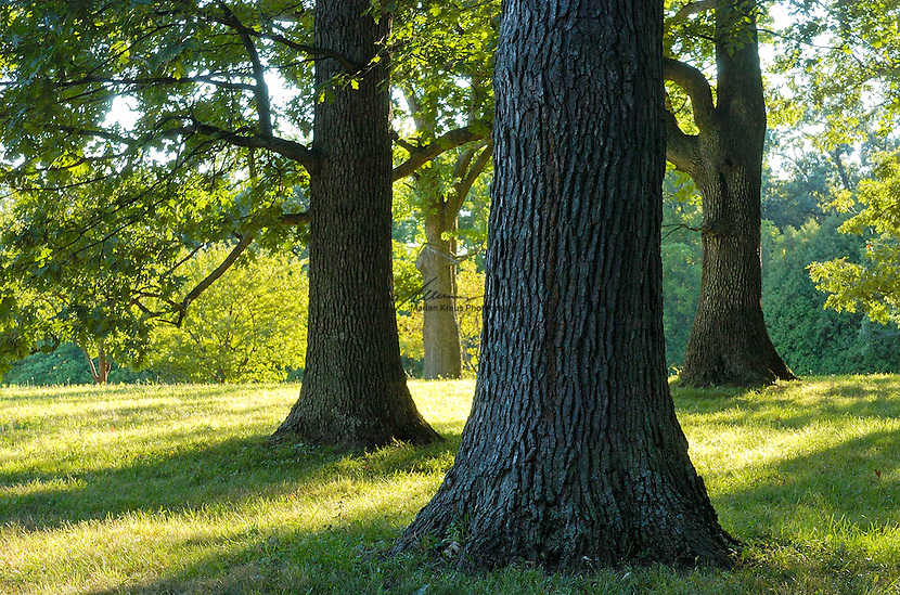 Solid Oak trees in summer on a meadow at the Morton Arboretum in Lisle, IL