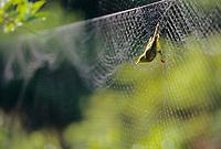 Capture of passerine, migratory birds in mist net, ornithology research, Denali National Park, Alaska