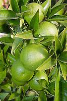 Green Oranges, Fresno, CA.