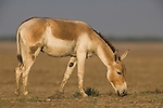 Indian wild ass (Equus hemionus khur) feeding on salt resistant plants in vast dry clay pan; pan is flooded during monsoon<br /> The Indian wild ass's range once extended from western India, through Sind and Baluchistan, Afghanistan, and south-eastern Iran. Today, its last refuge lies in the little Rann of Kutch and its surrounding areas of the Greater Rann of Kutch in the Gujarat province.