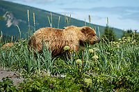 Grizzly Bear sow walks in beach grass at Silver Salmon Creek area in Lake Clark National Park.       Alaska<br /> <br /> Photo by Jeff Schultz/SchultzPhoto.com  (C) 2018  ALL RIGHTS RESERVED