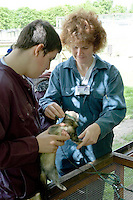 Putting a lead on a ferret before taking it for a walk.  14-16yr olds on the School Link Project doing Animal Care at F.E.College.