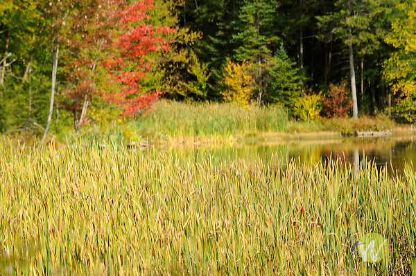 Kent Pond, Route 100 with cattails