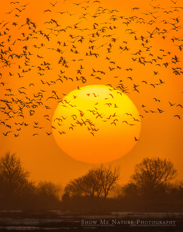 Closeup of Sandhill Cranes flying to the Platte River, against a setting sun