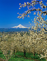 Mount Hood, Hood River Valley orchards, Oregon.   April.