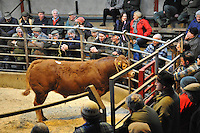 Limousin beef animal in a market sale ring, High Bentham, North Yorkshire.