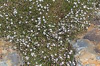 Steinbrech-Felsennelke, Felsennelke, Petrorhagia saxifraga, Tunica saxifraga, Dianthus saxifragus, Coat Flower, coatflower, Tunic Flower, Tunica saxifraga