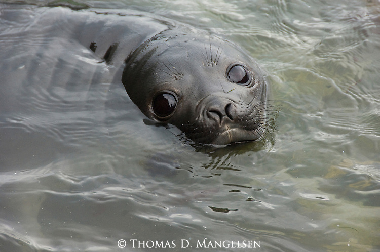Portrait of a southern elephant seal swimming in the water at Gold Harbour in South Georgia.