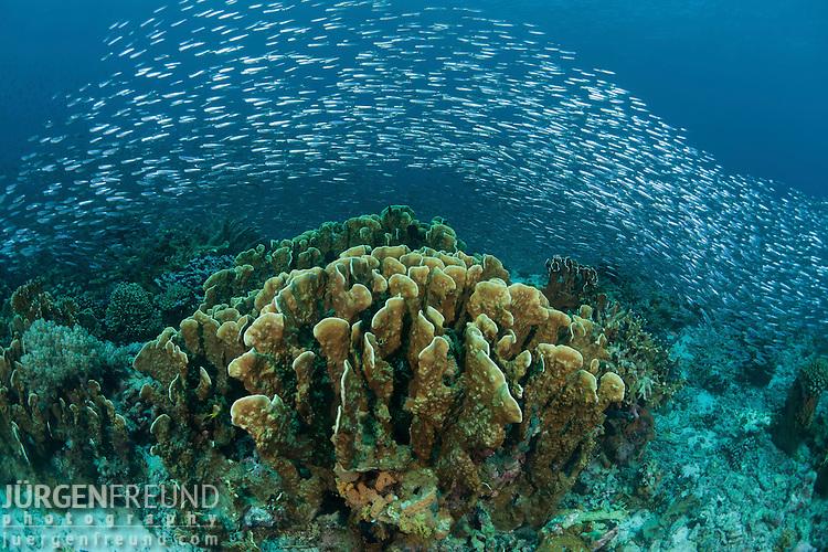 Massive school of silversides (Atherinomorus lacunosa) around the reef.