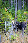 A cow moose in the timberlands of Somerset County, ME, USA