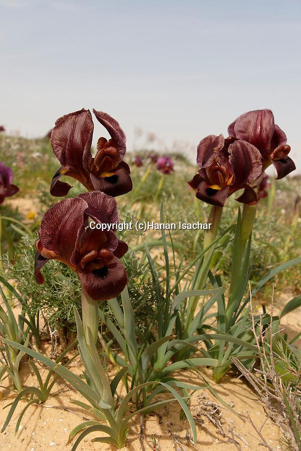 Israel, the Negev. Iris Petrana (Iris Hieruchamensis) near Yeruham