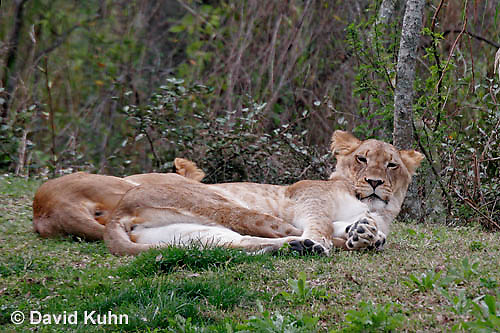 0212-08vv  Female African Lion, Panthera leo © David Kuhn/Dwight Kuhn Photography