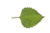 Behaartes Franzosenkraut, Behaartes Knopfkraut, Zottiges Franzosenkraut, Galinsoga ciliata, Galinsoga quadriradiata, Shaggy Soldier, hairy galinsoga, fringed quickweed, le galinsoga cilié, le galinsoge cilié. Blatt, Blätter, leaf, leaves