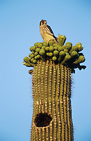 American Kestrel, Falco sparverius, young on top of blooming Saguaro Cactus, Saguaro National Park, Tucson, Arizona, USA, May 2005