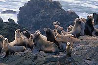 California Sea lions resting on a rocky shoreline, California Channel Islands