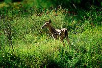 Deer faun