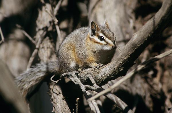 Cliff Chipmunk, Tamias dorsalis, adult, Chiricahua Mountains, Arizona, USA, January 1996