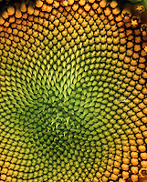 SUNFLOWER: FIBONACCI SEQUENCE IN SEED PATTERN<br />