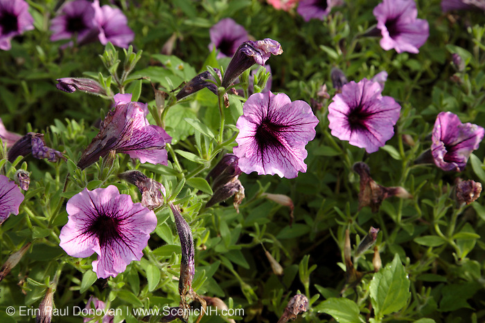 Petunia flowers  during the summer months at  Prescott Park in Portsmouth, New Hampshire USA