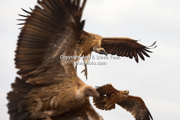 Whitebacked vultures (Gyps africanus) flying in to feed with tawny eagle (Aquila rapax), Zimanga private game reserve, KwaZulu-Natal, South Africa, September 2016