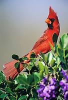 northern cardinal, Cardinalis cardinalis, male on blooming Texas Mountain Laurel, Sophora secundiflora, Lake Corpus Christi, Texas, USA, North America