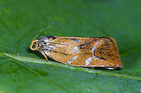 Wickler, Ptycholoma lecheana, Cacoecia lecheana, Ptycholoma circumclusna, Lead-striped tortricid, Wickler, Tortricidae, tortrix moths