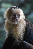 White Faced Capuchin monkeys are one of the four species of monkeys found in Costa Rica. Found near the Pacific Coast side of the country, their playful antics make them a joy to watch.