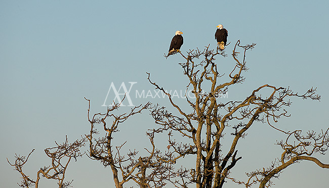 Bald eagles are commonly seen at BC's Boundary Bay in winter.