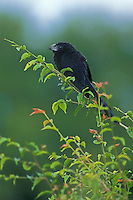 Groove-Billed Ani in Belize