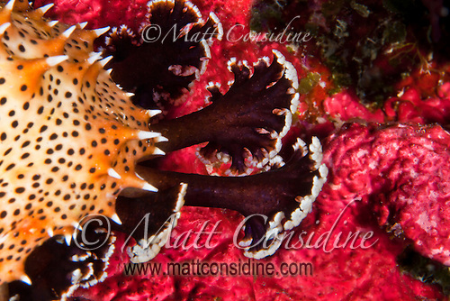 Sea Slug feet feeling their way over a red coral, Yap Micronesia. (Photo by Matt Considine - Images of Asia Collection) (Matt Considine)