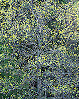 Tulip Poplar tree in early spring in evening light; Panther State Forest, WV