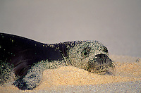 Hawaiian Monk Seal, Laysan I. Endangered Species
