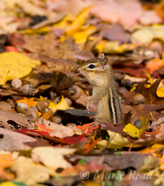 Eastern Chipmunk (Tamias striatus) amid autumn leaves, New York, USA.
