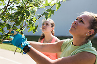 NWA Democrat-Gazette/CHARLIE KAIJO (From right) Shara McMurtrey, chairman of the Bentonville Parks and Rec advisory board, and Ally Fisher, 14, prune a tree, Saturday, June 9, 2018 along SE &quot;J&quot; Street in Bentonville. <br /> <br /> The Bentonville Parks Conservancy pruned the trees along SE &ldquo;J&rdquo; street, between SE 8th Street and HWY 102 Saturday as part of tree maintenance days that it will hold throughout the summer to help develop tree canopies throughout the city&rsquo;s parks and trails. <br /> <br /> The Bentonville Parks Conservancy is a non-profit organization that works with the city to help develop and maintain the city tree canopy and parks. Part of their vision is to develop a volunteer work force that will meet throughout the year to work on tree maintenance as needed by the city and parks department.<br /> <br /> 14 volunteers showed up Saturday to help prune about 100 trees.