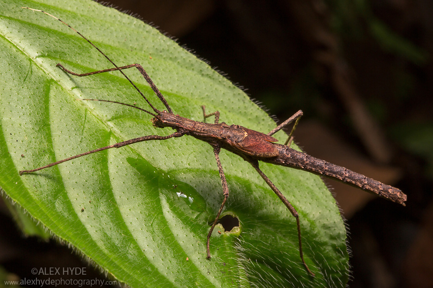 Stick Insect {Phasmatodea} on rainforest understory vegetation at night. Osa Peninsula, Costa Rica. May.