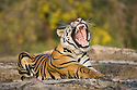 17 months old Bengal tiger cub (male) resting on rock in open area, yawning, early morning, dry season