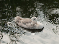 A Mute Swan {Cygnus olor} Cygnet Taking a Snooze at Rainham Marshes, Essex