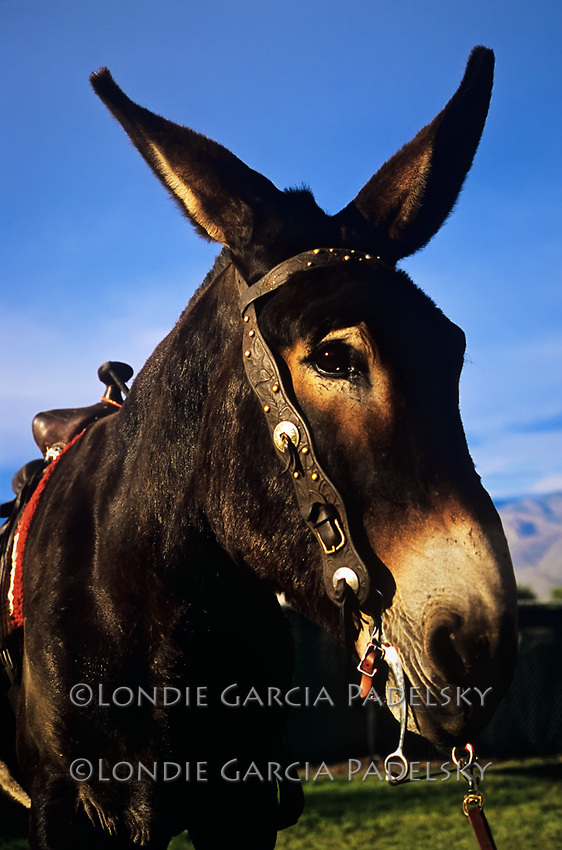 Mule Day Celebration, at Bishop, Eastern Sierra, California