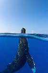 Humpback Whale (Megaptera novaeangliae) spyhopping, Hawaii, USA, Pacific Ocean.